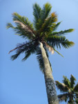 Tall Coconut Trees Palm - Public Domain Pictures