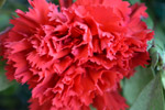 Red Carnation - Public Domain Pictures