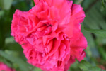 Red Carnation Bright - Public Domain Pictures