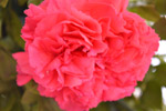 Red Pink Carnation Flower - Public Domain Pictures