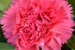Carnation Pink Colored - Public Domain Pictures