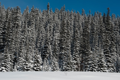 Pines In Snow Winter Banff