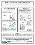 ASH TREE IDENTIFICATION GUIDE The Common Characteristics of Ash Trees Ash trees are deciduous with an upright, oval to rounded silhouette and a dense canopy. Foliage is dark green above and paler below. PowerPoint PPT Presentation