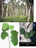 Populus tremuloides, quaking aspen PowerPoint PPT Presentation