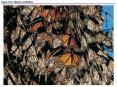 Figure 52.0 Monarch butterflies PowerPoint PPT Presentation