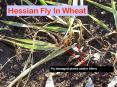 Hessian Fly In Wheat PowerPoint PPT Presentation