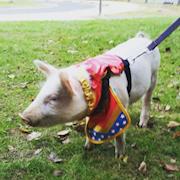 Pugsley dressed as superman
