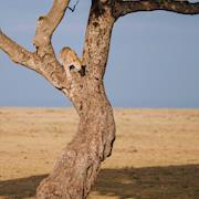 Leopard - Kenya, Africa