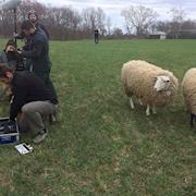Our sheep on set