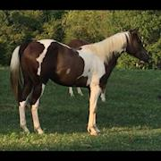 Gus-Paint horse, stallion