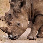 Black Rhinos - South Africa