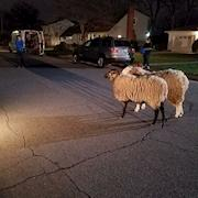 Our sheep in a movie
