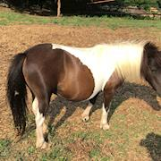 Pickles-miniature horse