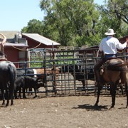 Ed & Elizabeth roping cattle