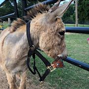 Percy, miniature donkey