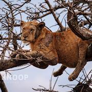 Outcast Lion