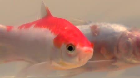 A Goldfish Birthday Memento