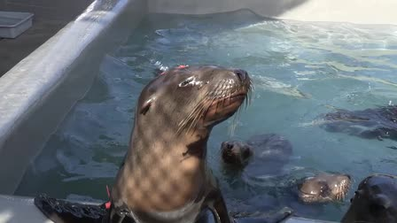 Sea Lion Resue