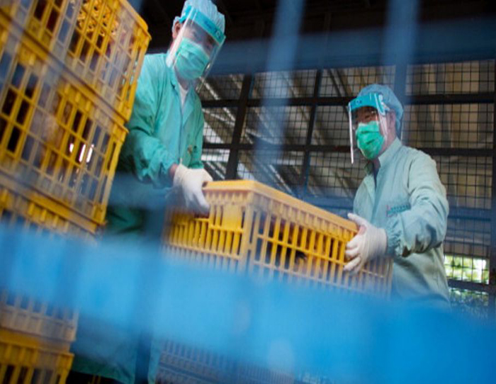 Seúl confirmó brote altamente patógeno de gripe aviar