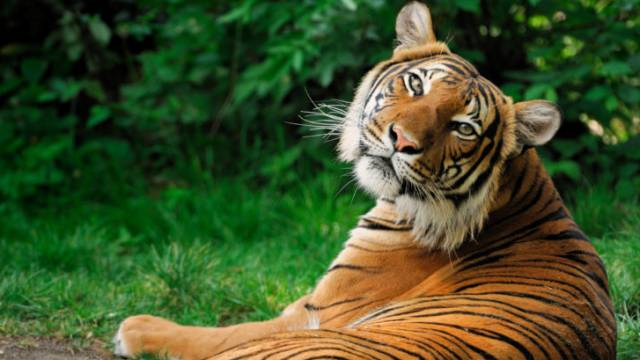 Nepal becomes first country to nearly double Wild Tiger