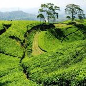 tea plantation and coffee plantation