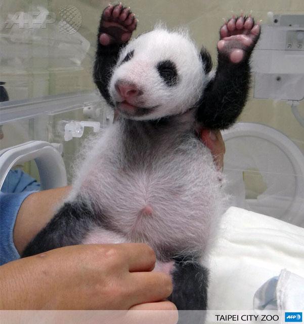 Stick 'Em Up! Baby Panda!