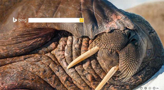 Bing Walrus New Year 2015