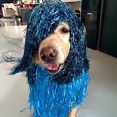 Google Dog Dressed Up In Shiny Blue Hair