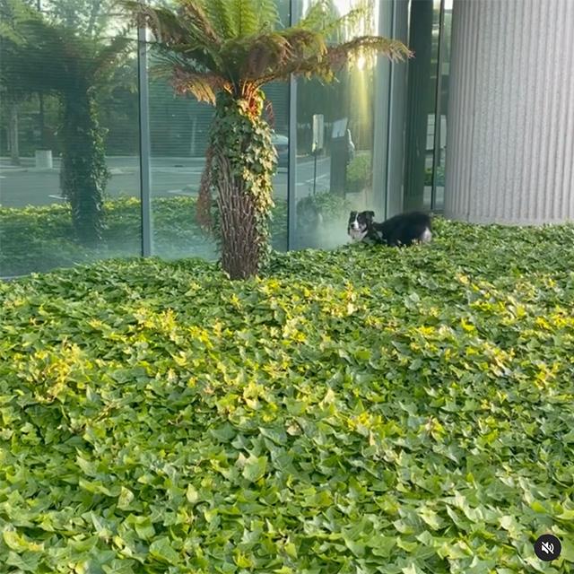 Carreras de perros alrededor de los arbustos de Google