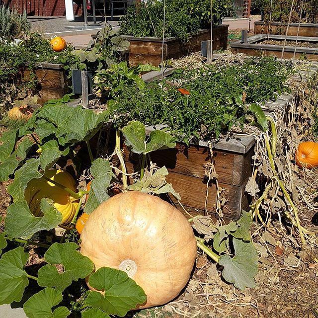 Google Pumpkin Garden