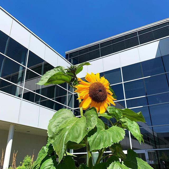 Google Sunflower