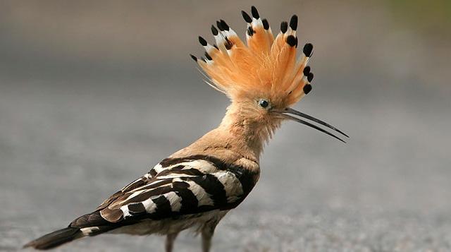 hoopoe israel bird