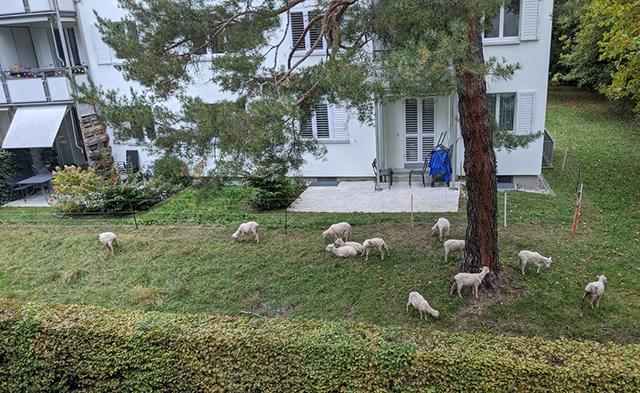 Martin Splitt Sheep Neighbors Return
