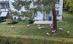 Martin Splitt Sheep Neighbors Returned For More