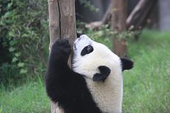 Google Panda Climbing