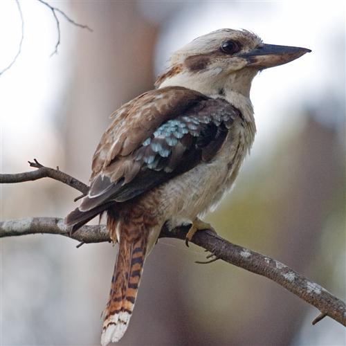 Marion Sinclair Kookaburra Sits In The Old Gum Tree cover art