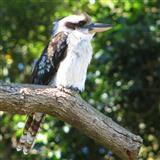 Kookaburra Sits In The Old Gum Tree sheet music by Marion Sinclair