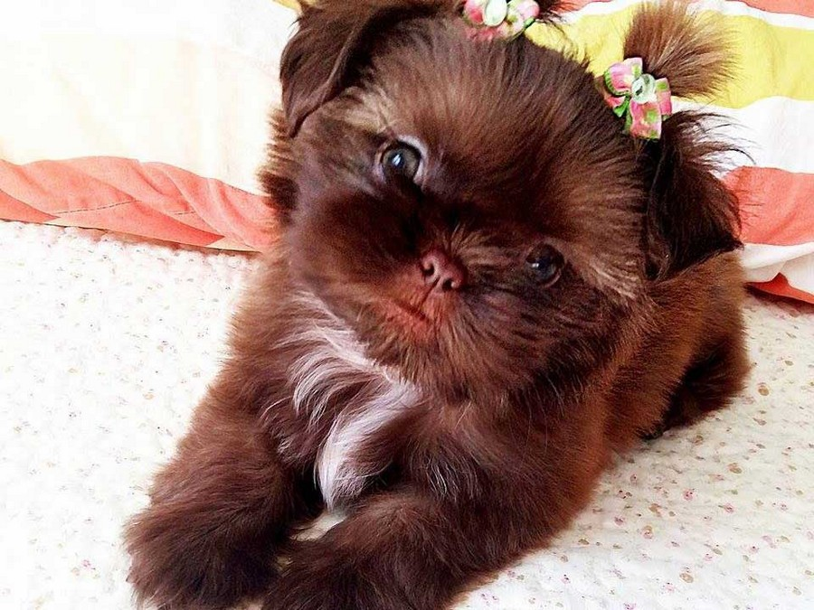 9 Lovable Facts About Shih Tzu Shih Tzu Daily