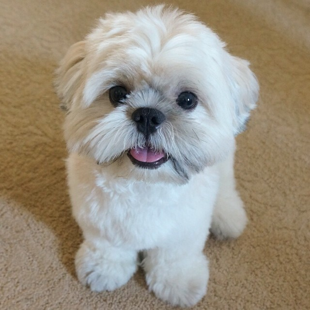 19 Must Follow Shih Tzus On Instagram Shih Tzu Daily