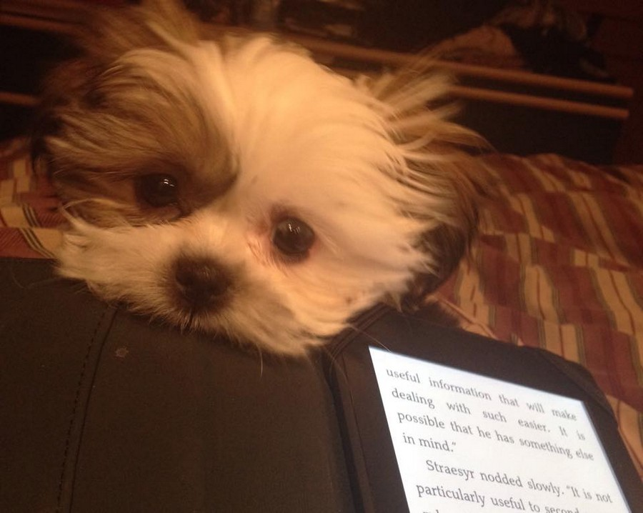 10 Reasons Shih Tzus Are The Best Dog Shih Tzu Daily