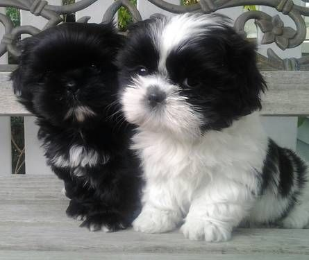 Eight Must Have Shih Tzu Products Shih Tzu Daily