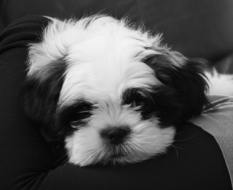 Five Warning Signs Of Depression In Shih Tzus Shih Tzu Daily Amazing Dog Sleep Pattern