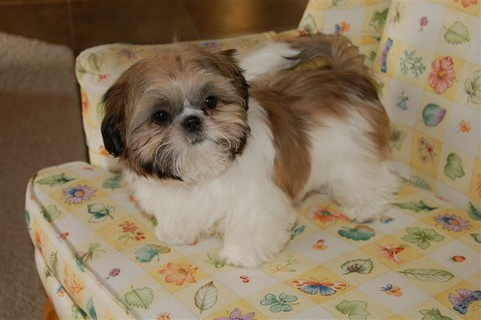 haircuts for shih tzu dogs shih tzu daily the right shih tzu haircut 4429