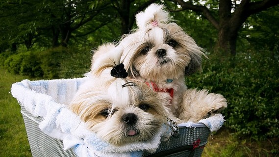 shih tzu hair care shih tzu daily the right shih tzu haircut 6373