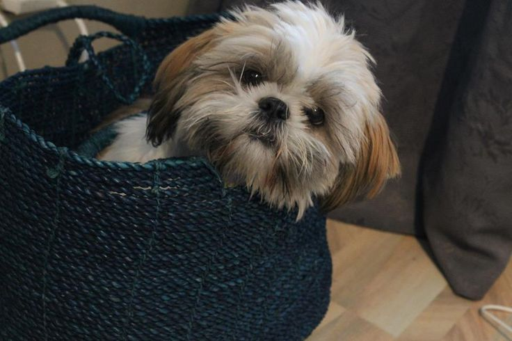 shih tzu bowl in mouth