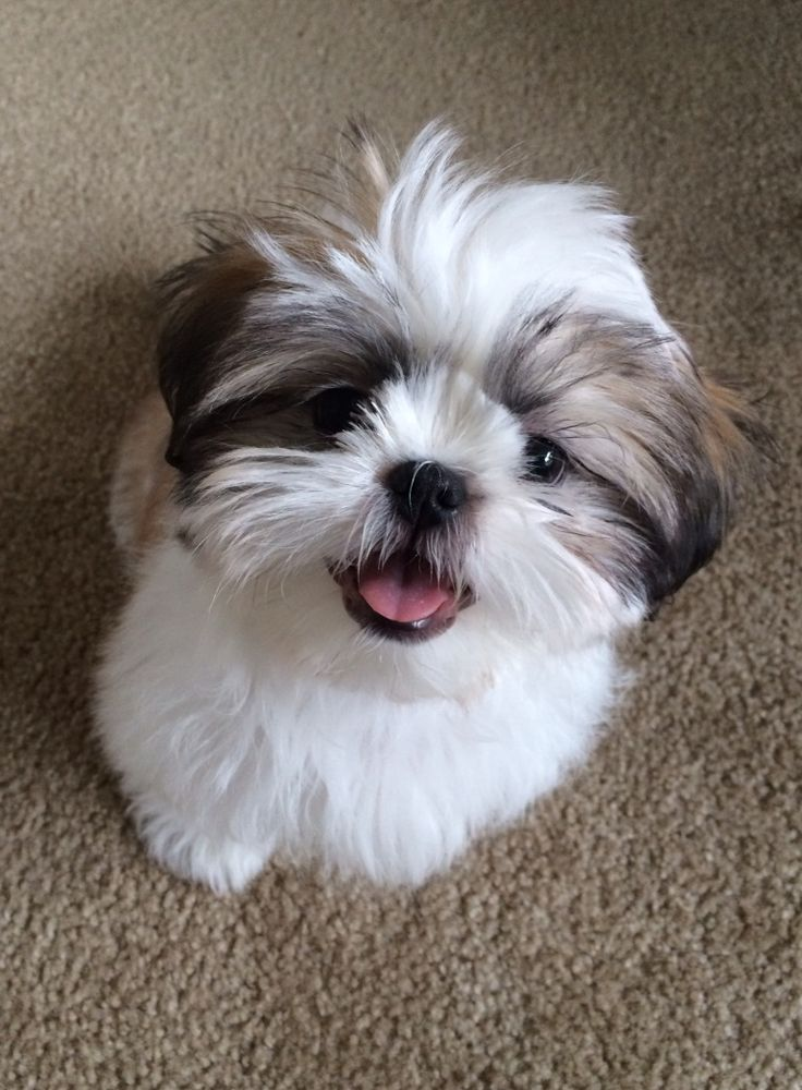6 Problems That Only Shih Tzu Owners Will Understand