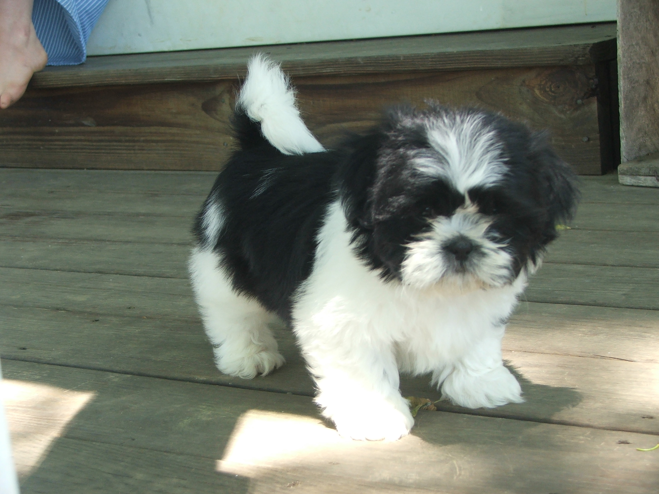 black and white shih tzu puppies black and white shih tzu shih tzu daily 5098