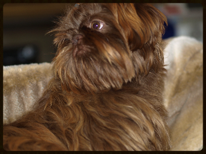 Brown Shih Tzu - Shih Tzu Daily