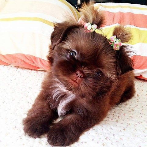 Brown Shih Tzu Shih Tzu Daily