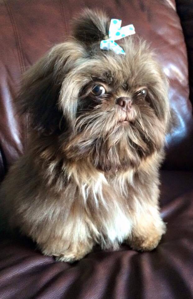 Crate Training Tips For Your Shih Tzu Shih Tzu Daily